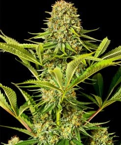 critical jack seeds cannabis strain