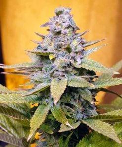 cream caramel cannabis seeds