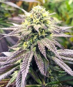 blueberry fast seeds